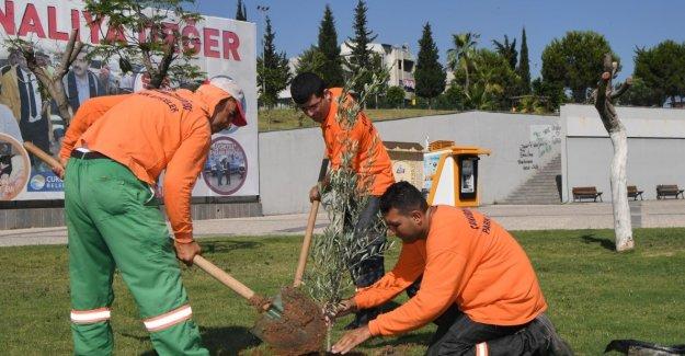 Çukurova Belediyesi Parklara Zeytin Fidanı Dikiyor