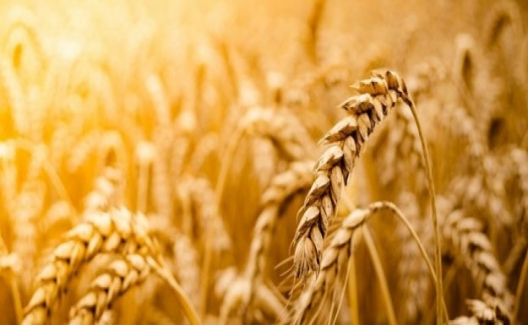 Tahıllar ve Diğer Bitkisel Ürünler'de En Yüksek Yeterlilik Derecesi Buğday'da Gerçekleşti