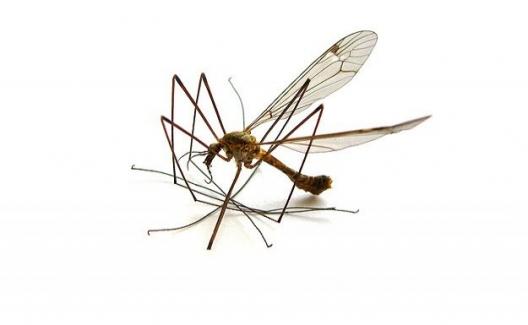 Dünyanın En İstilacı Sivrisineğinin Üremesi Kontrol Altına Alındı