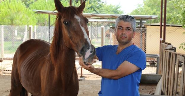 Trafik Kazasında Yaralanan At Sağlığına Kavuşturuldu...