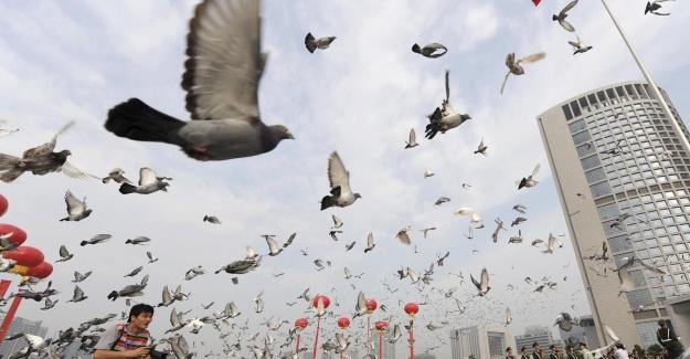 Çin'in 70'inci Yıl Kutlamaları Sırasında Uçurulan 70 Bin Barış Güvercininin Tamamı Evine Döndü