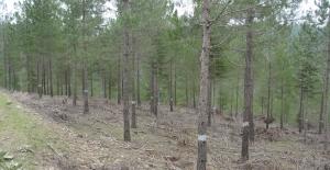 Yılsonuna Kadar 122 Bin 60 Dekar Ormanda Budama Yapılacak