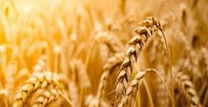 Türkiye Ve Rusya Yarın Buğday Krizini Görüşecek