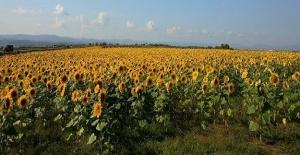 Bayraktar: Ayçiçeğinde Fiyat Buğday Paritesine Göre Belirlenmeli