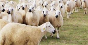 Anaç Koyun Keçi Desteklemelerinde Yaş Sınırı Artırıldı