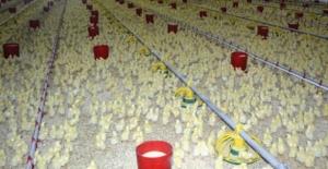 Tavuk Eti Üretimi Ağustos'ta Azaldı