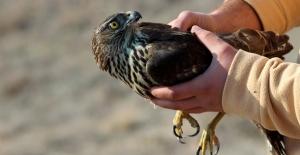 Kara Akbaba Ve Çakır Kuşu Doğaya Salındı