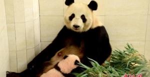 2 Panda 15 Yıllık Araştırma Projesi İçin Moskova'ya Gidiyor
