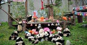 Çin'de 18 Panda Yavrusu İçin Doğum Günü Partisi Verildi