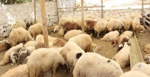 Kurban Bayramı'nda En İyi Fiyatlı Kurbanlık Ve Ücretsiz Et İşleme Hizmeti Migros'ta