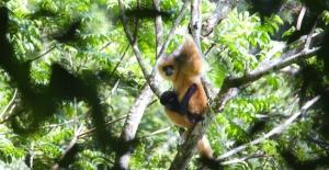 Asya Maymunlarının Sayısı 29'a Ulaştı