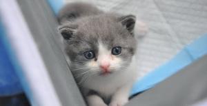 Çin'in İlk Klonlanmış Kedisi 'Garlic' Doğdu