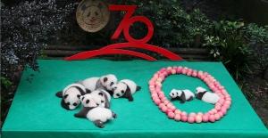 Çin'in 70'inci Yıl Kutlamaları İçin 7 Panda Yavrusu Halka Tanıtıldı