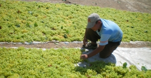 Türkiye Çekirdeksiz Kuru Üzüm Üretiminde Ve İhracatında Açık Ara Dünya Birincisi