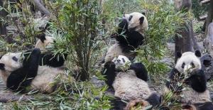 Pandalar, Yeni Koronavirüsü Hastalarına Moral Verecek