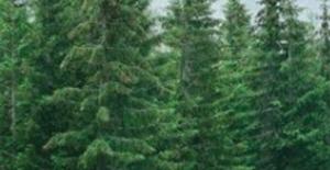 Orman Ve Su İşleri Bakanlığı'ndan 'Çam' Alarmı