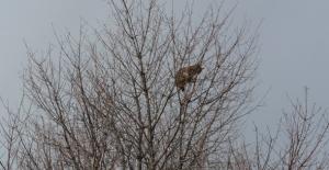 Ağaca Tırmanan Vaşak İçin Kurtarma Operasyonu