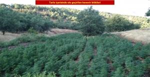 Diyarbakır'da 1 Milyon 255 Bin 464 Kök Kenevir Bitkisi Ele Geçirildi