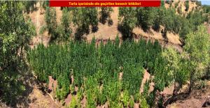 Diyarbakır'da 723 Bin 860 Kök Kenevir Bitkisi Ele Geçirildi