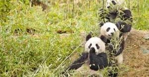 Çin, Pandalar İçin Ulusal Park Kuruyor