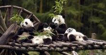 Panda Yetiştiriciliğinde Sevindirici Gelişme