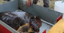 Tedavisi Tamamlanan Caretta Özgür Denizle Buluştu
