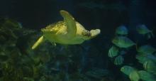 Avrupa'nın En Büyük Yeşil Deniz Kaplumbağası Iggy artık Türkiye'de