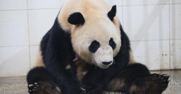 Çin'de iki panda 4 yavru
