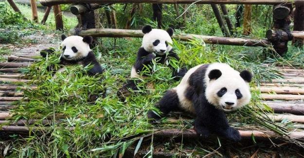 Pandalar, Nesli Tükenen Hayvanlar Listesinden Çıktı