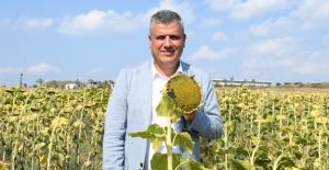 """CHP'li Barut'tan Ayçiçeği Çağrısı: """"Çiftçi Mağduriyetini Önlemek İçin Ayçiçeği Fiyatları Açıklansın"""""""