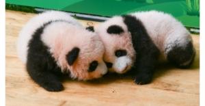 """Pandalar, """"Uluslararası Panda Günü""""Nü Şirinlik Yaparak Kutluyor"""